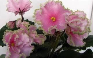 Описание фиалки «Весна» и правила ухода