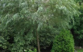 Полынь декоративная божье дерево