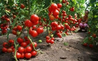 Суперурожайные сорта томатов для теплиц