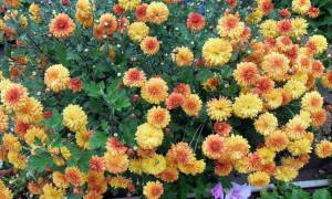 Когда можно пересаживать дубки цветы