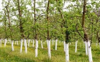 Как сделать побелку для деревьев самому