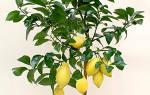 Посадка лимона из косточки в домашних условиях