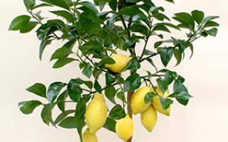 Как вырастить дома лимонное дерево из косточки