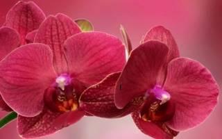 Красные орхидеи: сорта с описанием и уход