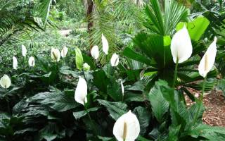 Спатифиллум: описание и родина растения