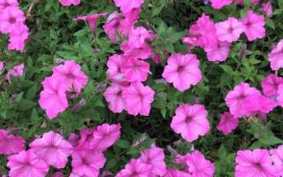 Популярные сорта розовых петуний и правила их выращивания
