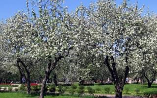 Как сажать яблоню весной пошаговая инструкция