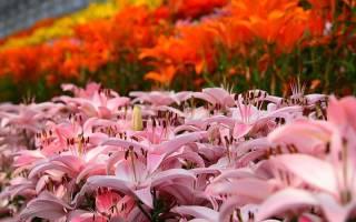 Кустовые лилии: обзор сортов, посадка и уход