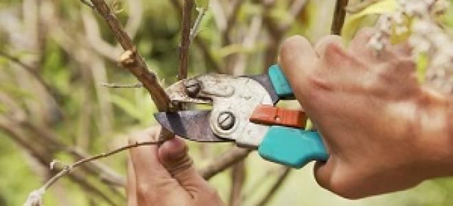 Когда лучше обрезать яблони осенью или весной