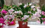 Комнатные растения декабрист уход в домашних условиях