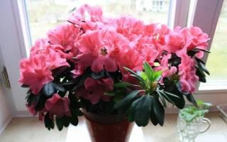Домашние цветы в горшках цветущие круглый год