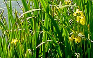 Ирис болотный посадка и уход