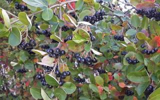 Обрезка черноплодной рябины осенью