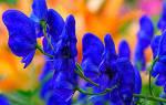 Аконит цветок многолетник