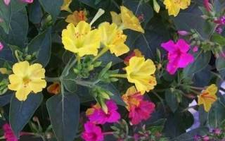 Ночная красавица цветок выращивание из семян