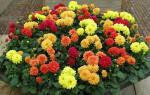 Как сохранить однолетние георгины до весны