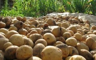 Как повысить урожай картофеля на домашнем огороде