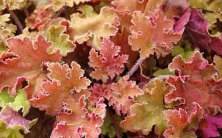 Гейхера «Мармелад»: описание разновидностей, рекомендации по выращиванию