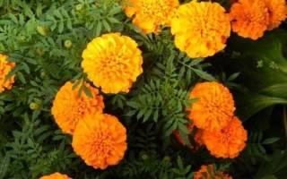Бархатцы отклоненные: сорта и правила выращивания