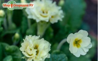 Примула махровая: сорта и выращивание из семян