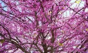 Иудино дерево почему так называется