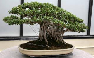Как вырастить банзай дерево из семян