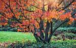 Подкормка сливы осенью