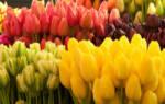 Белые тюльпаны: описание, сорта и выращивание