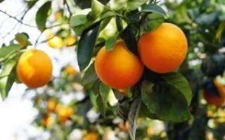 Чем подкормить мандариновое дерево в домашних условиях