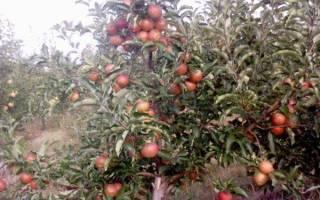 Яблоки голден откуда поступают в Россию
