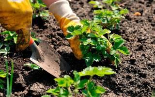 Как правильно сажать клубнику весной