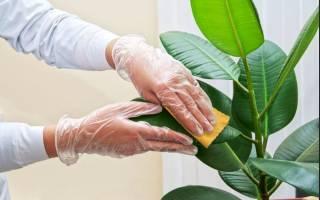 Чем протирать листья комнатных растений от пыли