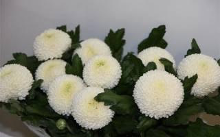 Хризантема одноголовая: описание, сорта и рекомендации по выращиванию