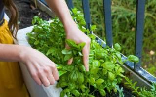 Как вырастить базилик на подоконнике из семян