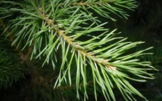 Хвойные породы деревьев список