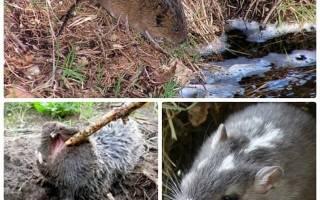 Как бороться с земляной крысой в огороде