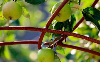 Можно ли из семечки яблока вырастить яблоню