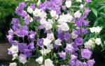 Колокольчик садовый: виды, выращивание, разведение