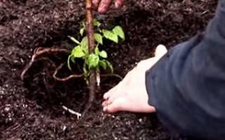 Размножение малины черенками осенью