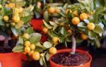 Выращивание цитрусовых в комнатных условиях