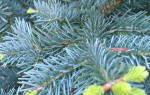 Какие бывают хвойные деревья названия