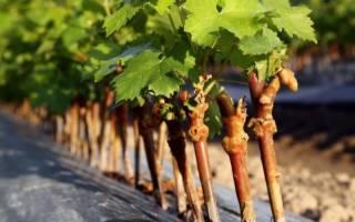 Как развести виноград черенками осенью