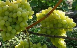 Виноград августин посадка и уход