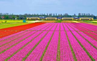Родина и история тюльпанов