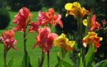 Кана цветок выращивание