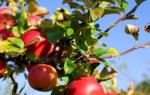 Правила посадки яблони осенью