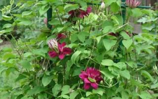 Клематис «Ред стар»: описание и правила выращивания