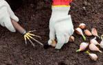 Когда лучше сажать чеснок весной или осенью