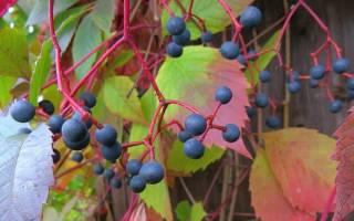 Обрезка девичьего винограда осенью