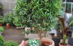Мирт из семян: советы по размножению и выращиванию